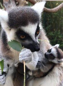 Photos lémuriens. Maman maki catta et son bébé.