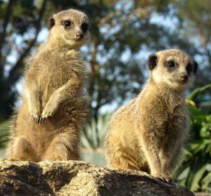 Suricates élevés au Jardin zoologique tropical à La Londe.