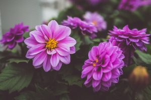 Planter, entretenir et hiberner les dahlias